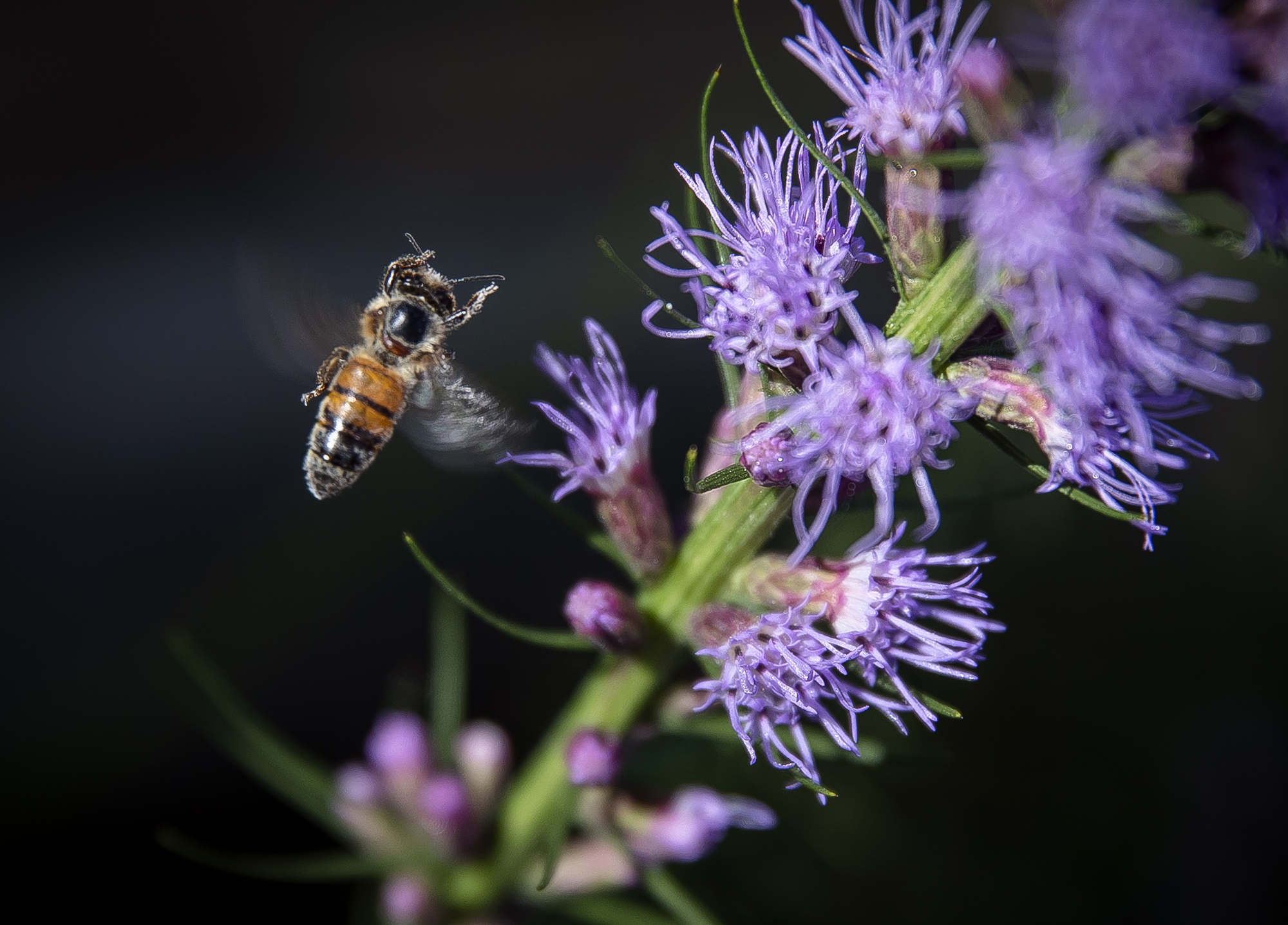 A honey bee comes in for a landing to collect pollen and nectar from the blossoms of a blazing star flower in bloom along Carpenter Street, Monday, July 16, 2018, in Springfield, Ill. [Justin L. Fowler/The State Journal-Register]