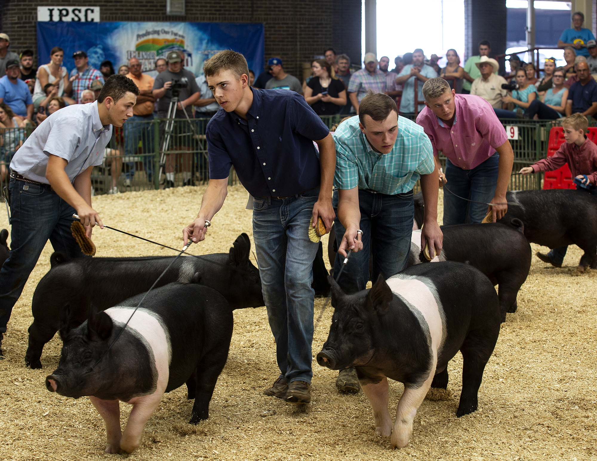 Hamphire barrows are shown in the best of breed championship class of the Land of Lincoln Junior Barrow Show at the Illinois State Fair Saturday, Aug. 11, 2018 on the fairgrounds in Springfield, Ill. [Rich Saal/The State Journal-Register]