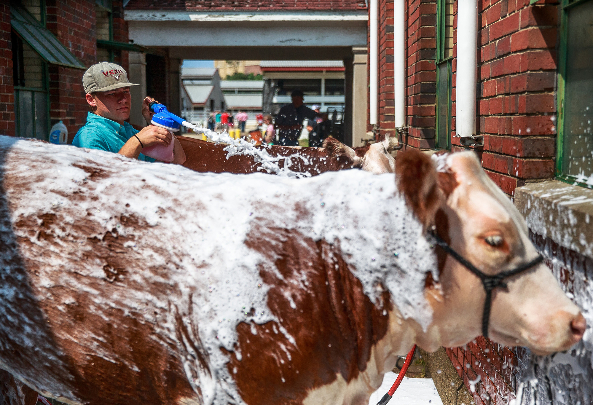 "C.J. Sweatman, of Easton, Ill., washes down his hereford ""Whiskey"" after a morning of showing during the Illinois State Fair at the Illinois State Fairgrounds, Saturday, Aug. 11, 2018, in Springfield, Ill. [Justin L. Fowler/The State Journal-Register]"