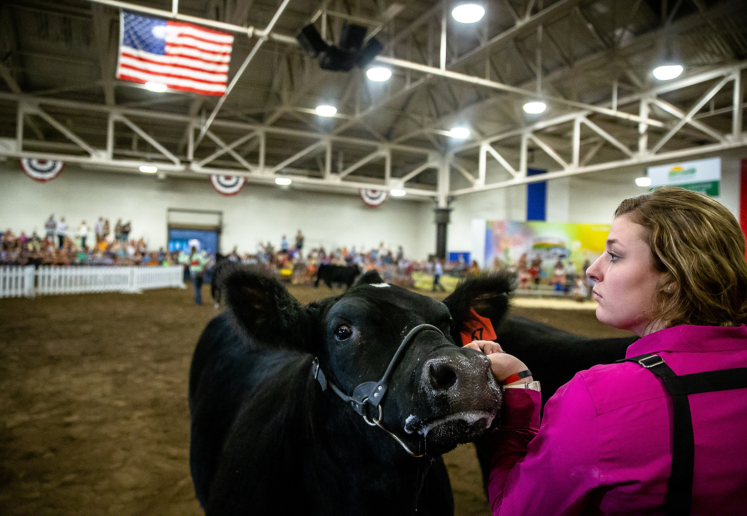 Abby Kuppler brings her steer into the show floor during the Parade of Champions at the Livestock Center during the Illinois State Fair at the Illinois State Fairgrounds, Saturday, Aug. 11, 2018, in Springfield, Ill. [Justin L. Fowler/The State Journal-Register]