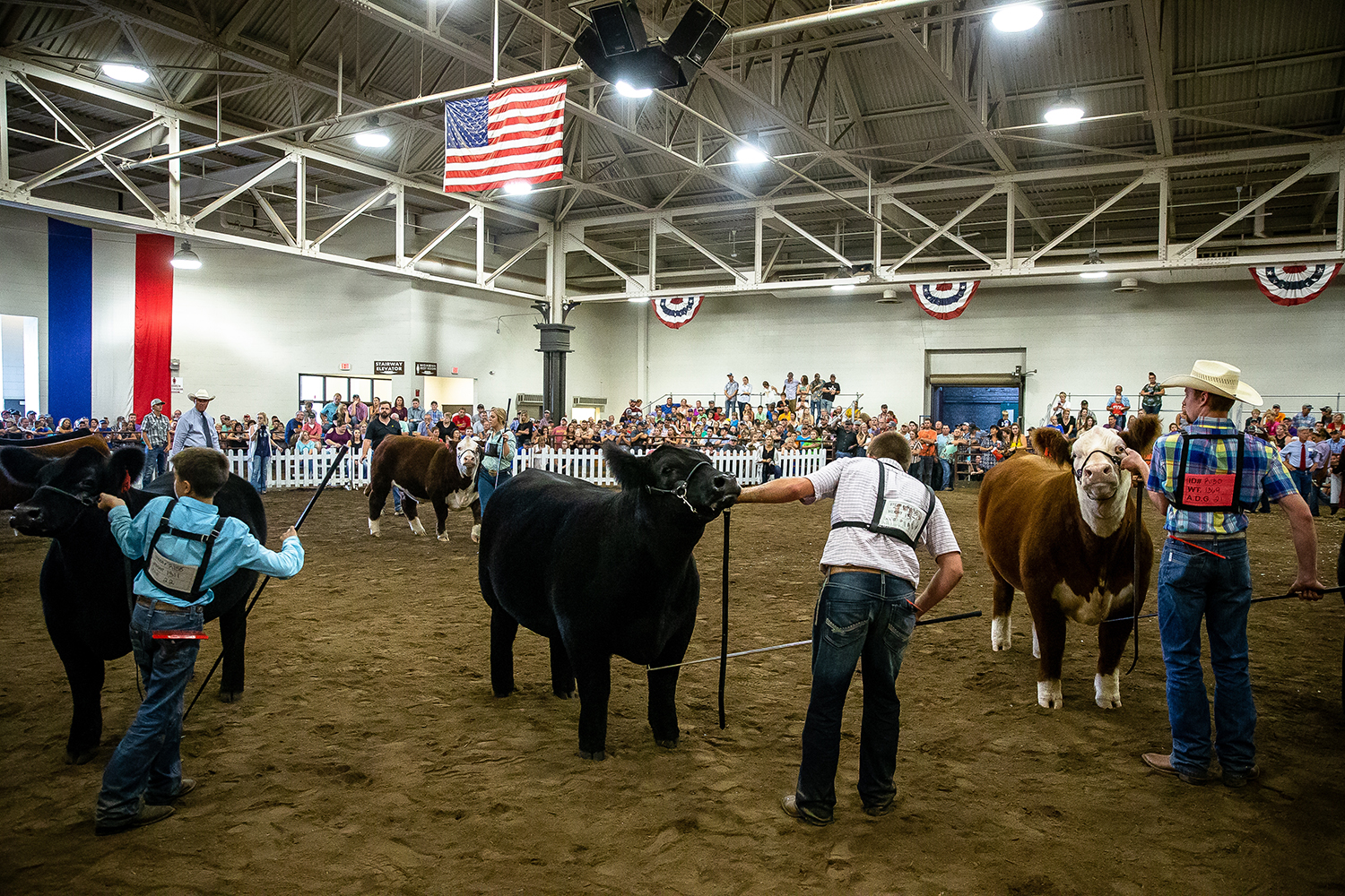 The steers are brought into the show floor for judging during the Parade of Champions at the Livestock Center during the Illinois State Fair at the Illinois State Fairgrounds, Saturday, Aug. 11, 2018, in Springfield, Ill. [Justin L. Fowler/The State Journal-Register]