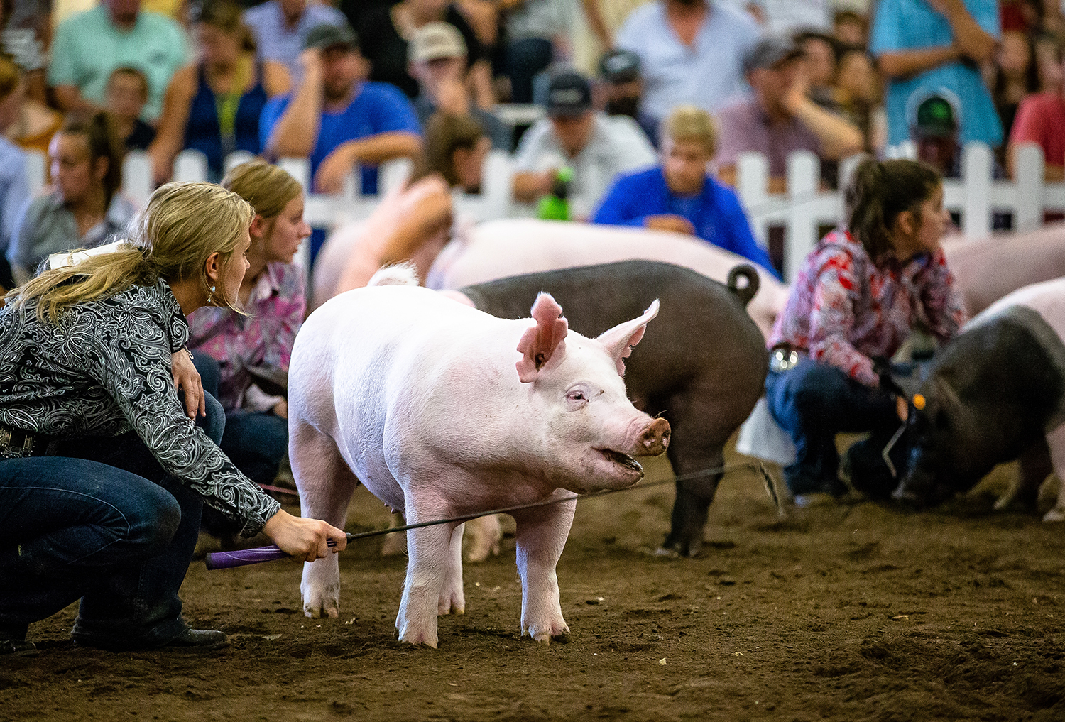 The barrows are kept at attention during judging in the Parade of Champions at the Livestock Center during the Illinois State Fair at the Illinois State Fairgrounds, Saturday, Aug. 11, 2018, in Springfield, Ill. [Justin L. Fowler/The State Journal-Register]