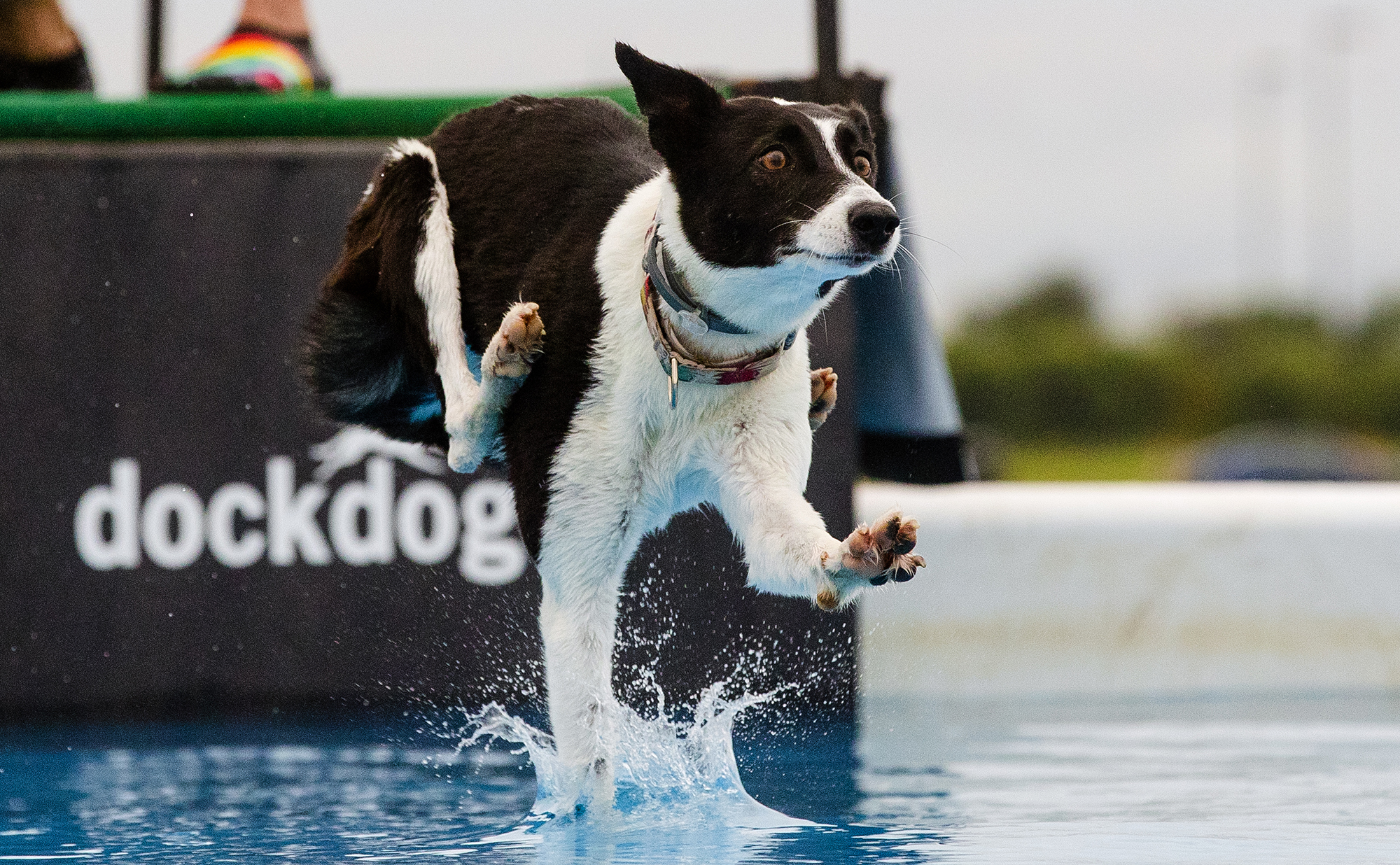 Le Cambell's dog Kiwi touches down with one foot as she competes during the first round of the DockDogs competition at the Scheels Hunting Expo Friday, Aug. 24, 2018. The competition continues through Sunday afternoon with multiple rounds of jumping each day. [Ted Schurter/The State Journal-Register]