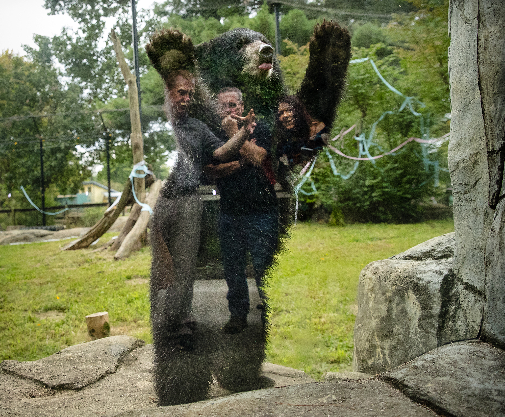 One of two new bear cubs stands up on his hind legs while people watching are reflected in enclosure's window at Henson Robinson Zoo Thursday, Sept. 6, 2018. The two black bears, Kenai and Klondike, aren't siblings, but were both found abandoned in Alaska. [Ted Schurter/The State Journal-Register]
