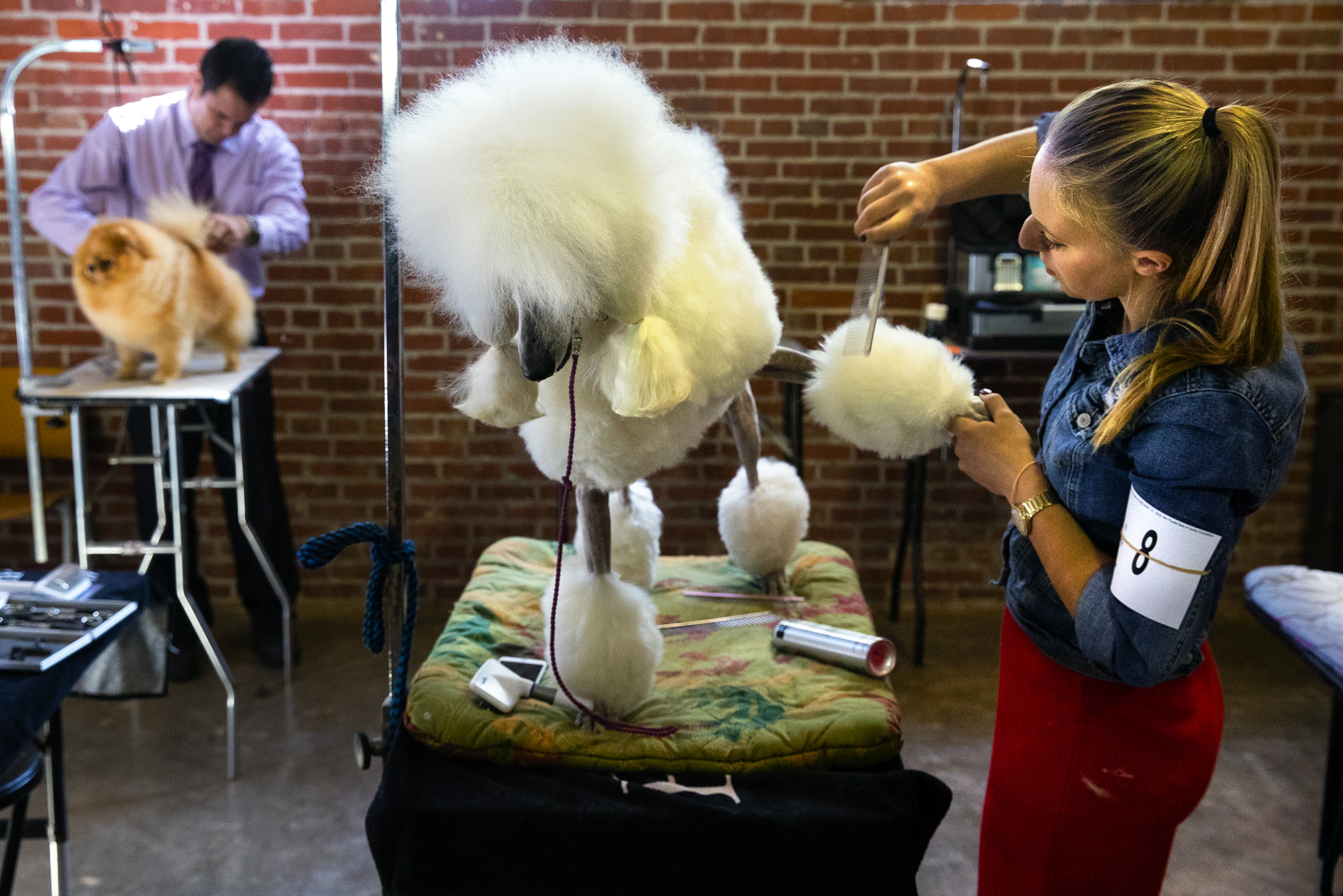 Chanel Lefever prepares a poodle named Pearl for competition at the Prairieland Classic Dog Shows Thursday, Oct. 18, 2018. The shows continue through Sunday at the Exposition Building on the Illinois State Fairgrounds. [Ted Schurter/The State Journal-Register]