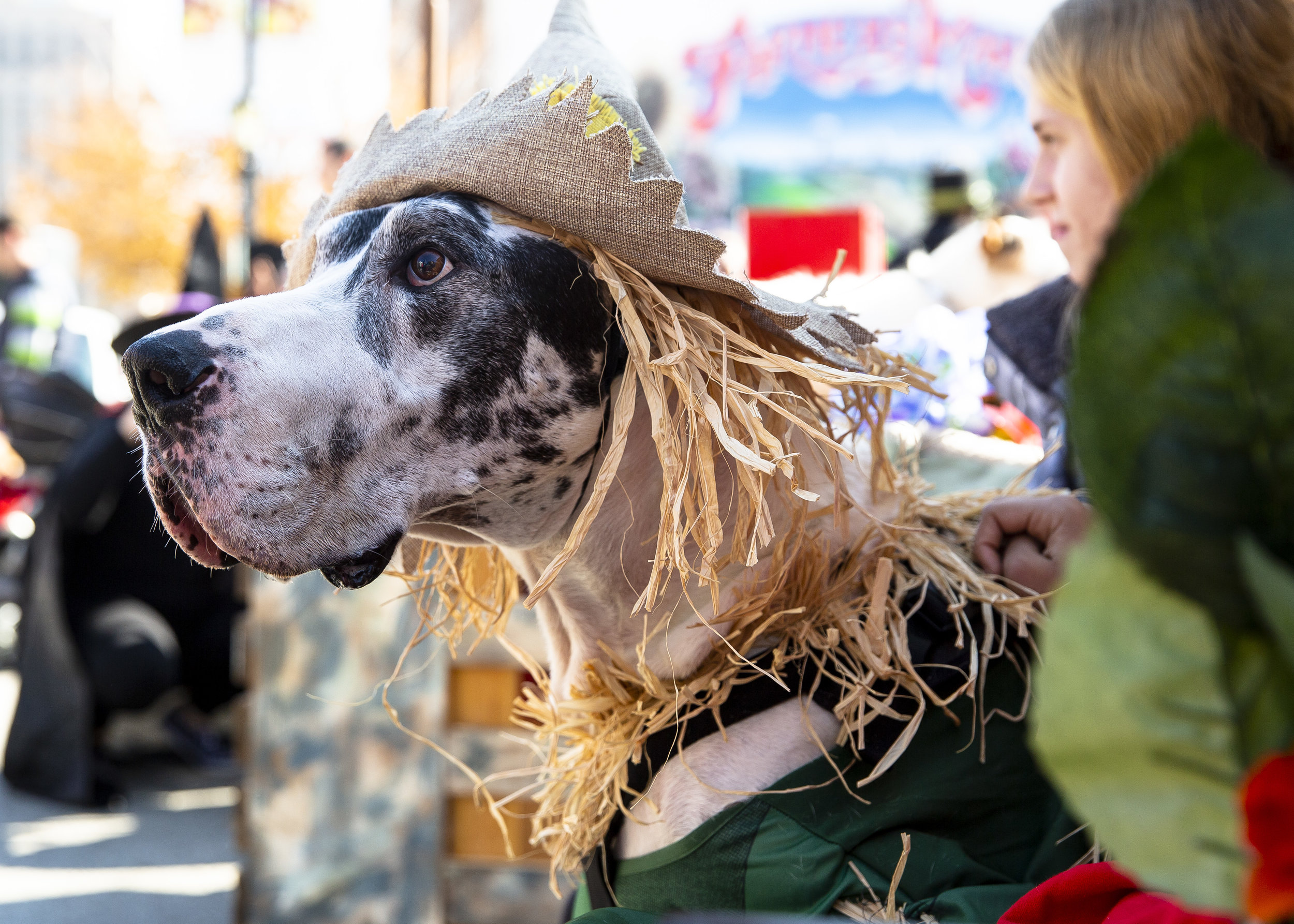 Blues, an easy-going Great Dane owned by Emily and Jason Cinotto, dressed as Scarecrow form the Wizard of Oz. waits for the pet costume portion of Halloween at the Market Saturday, Oct. 27, 2018 at the Old Capitol Farmer's Market in Springfield, Ill. [Rich Saal/The State Journal-Register]