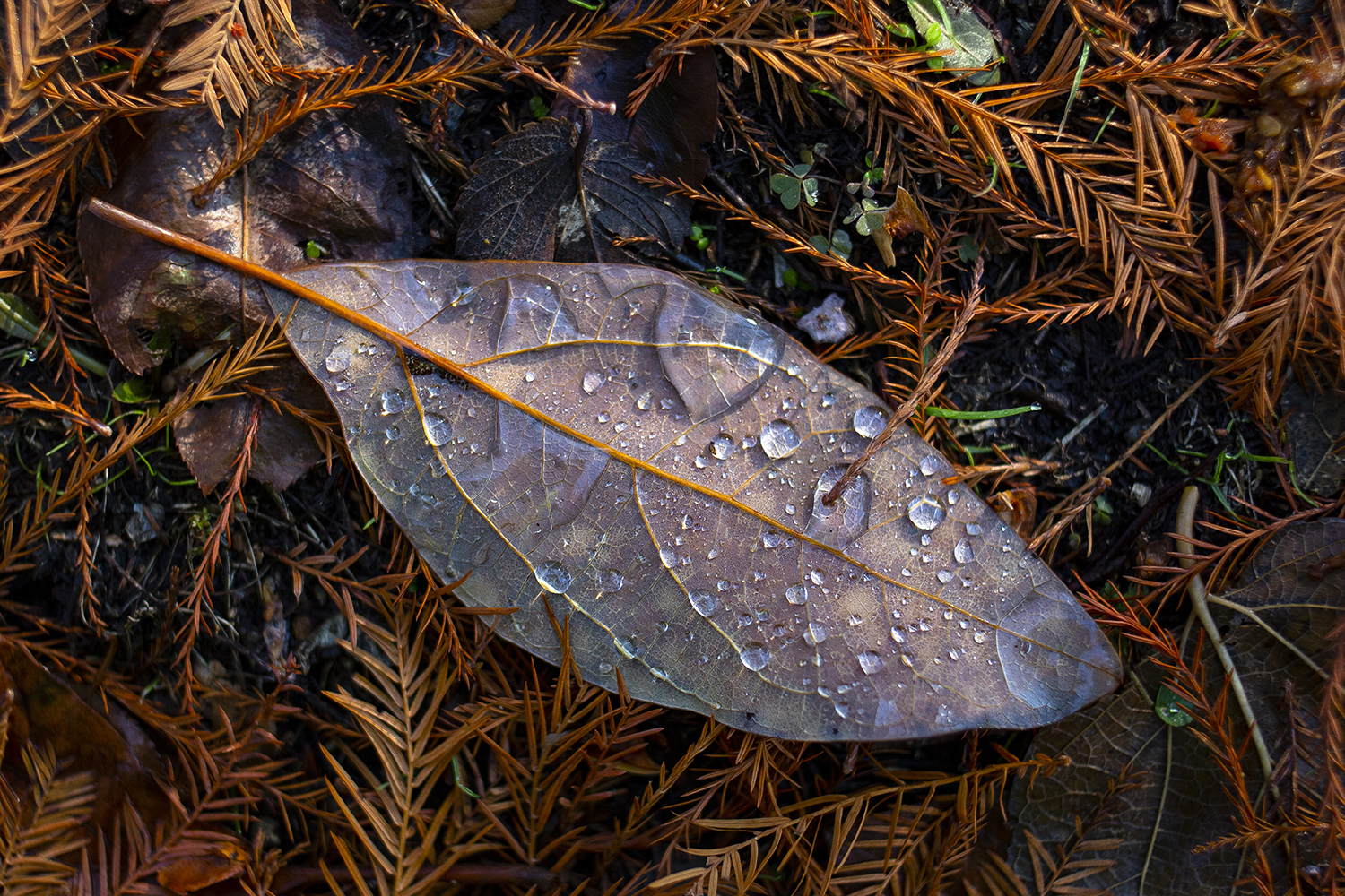 Water droplets, a leaf and pine needles in a still life found along the Interurban Trail Saturday, November 24, 2018. [Rich Saal/The State Journal-Register]