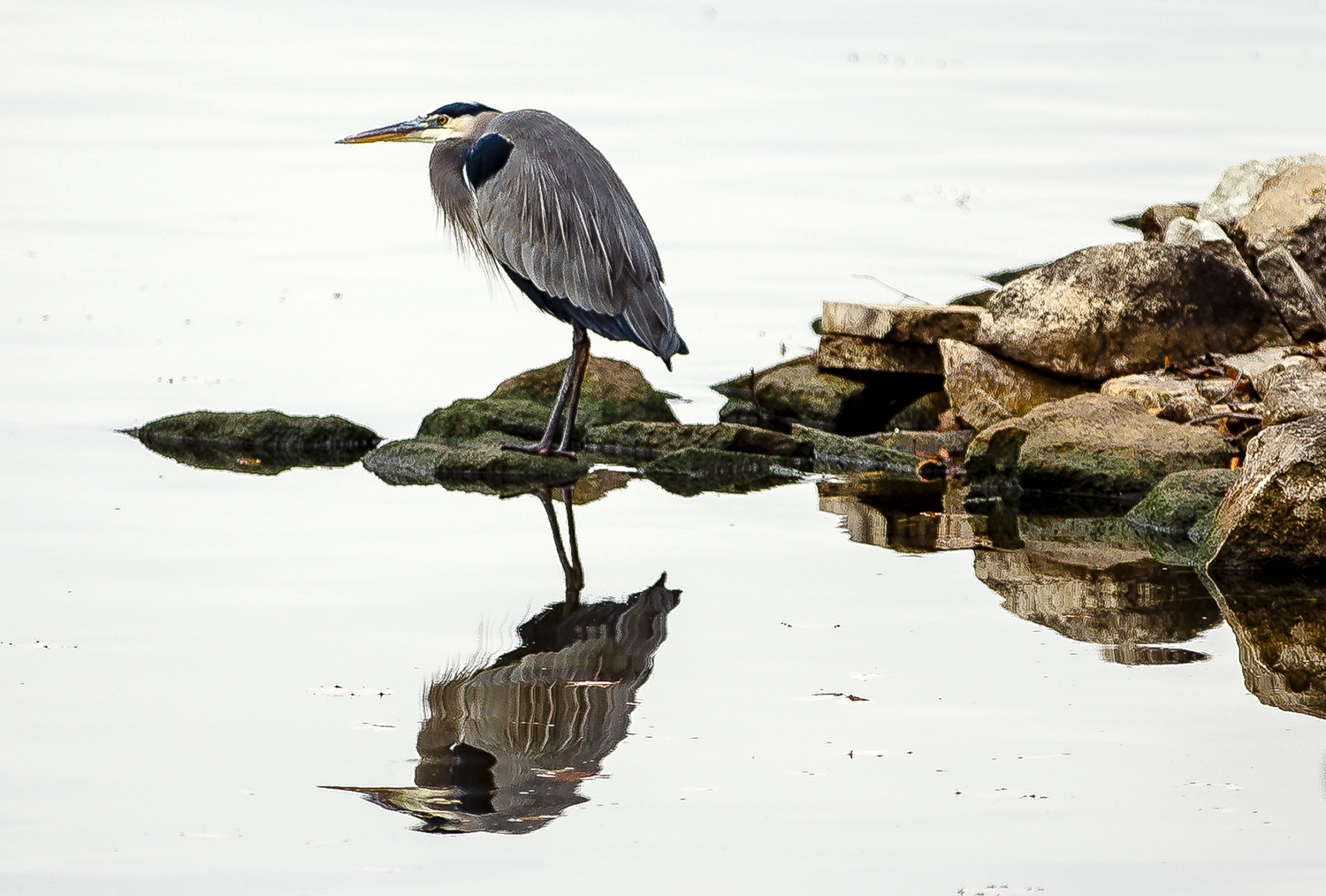 A great blue heron stands perched on a point near the Lindsay Bridge and is reflected in the calm waters of Lake Springfield, Thursday, Nov. 29, 2018, in Springfield, Ill. [Justin L. Fowler/The State Journal-Register]