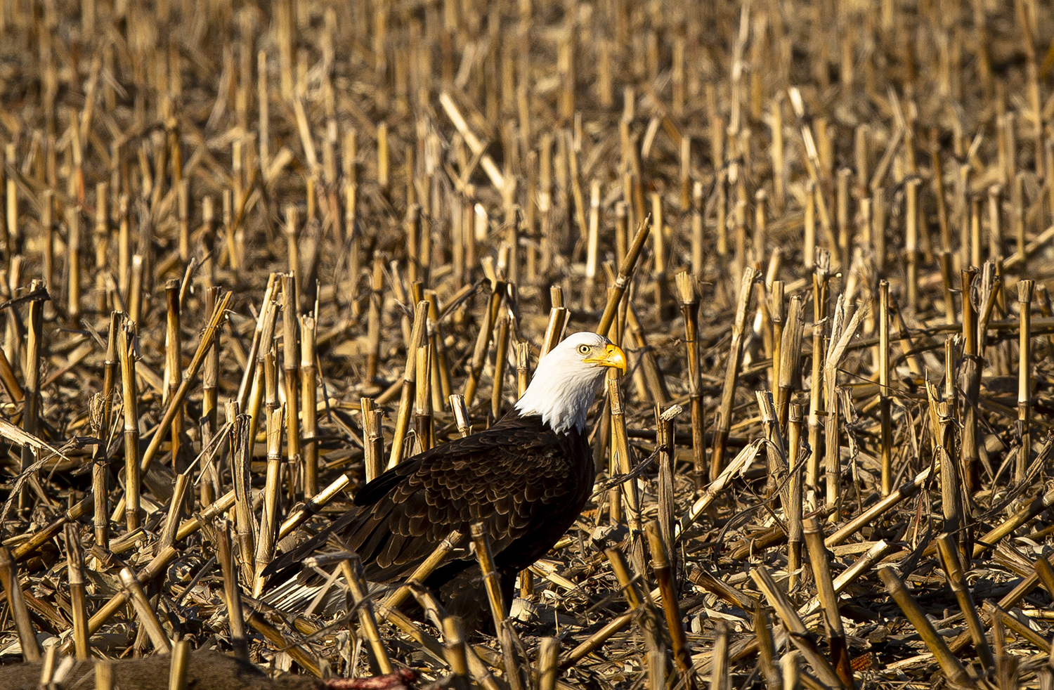 A bald eagle sits in a cornfield along Bradforton Road where it has been feeding on a deer carcass Wednesday, Jan. 9, 2019 in Springfield, Ill. Residents say the bird has been seen in the area for several days. [Rich Saal/The State Journal-Register]