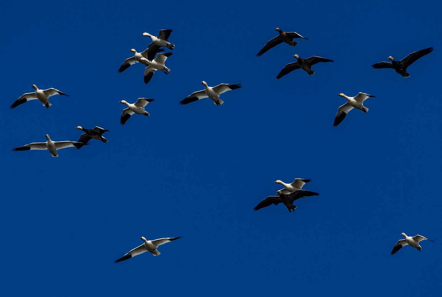 A grouping of snow geese, in a variety of white and blue phases, hover in the wind as they coast down to the surface of Lake Springfield just north of Center Park during their northward migration, Friday, Feb. 22, 2019, in Springfield, Ill. There is a second flock congregating near Lincoln Memorial Garden. [Justin L. Fowler/The State Journal-Register]