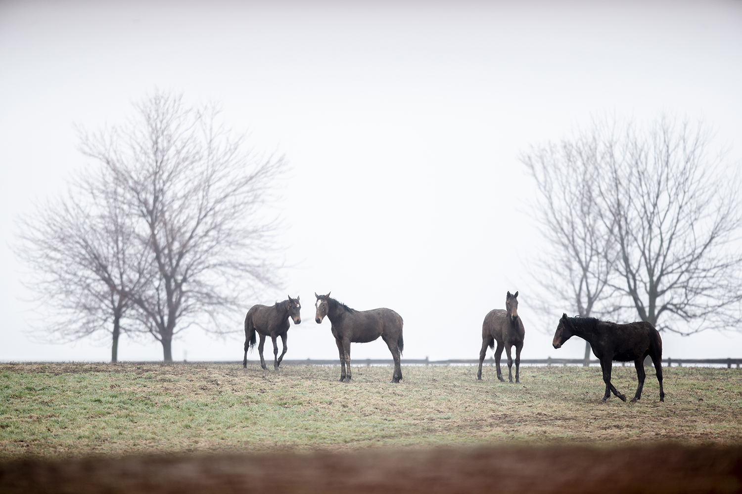 A morning fog bank rolls through as a group of horses grazes on one the pastures of Walker Standardbreds, Friday, April 5, 2019, in Sherman, Ill. [Justin L. Fowler/The State Journal-Register]