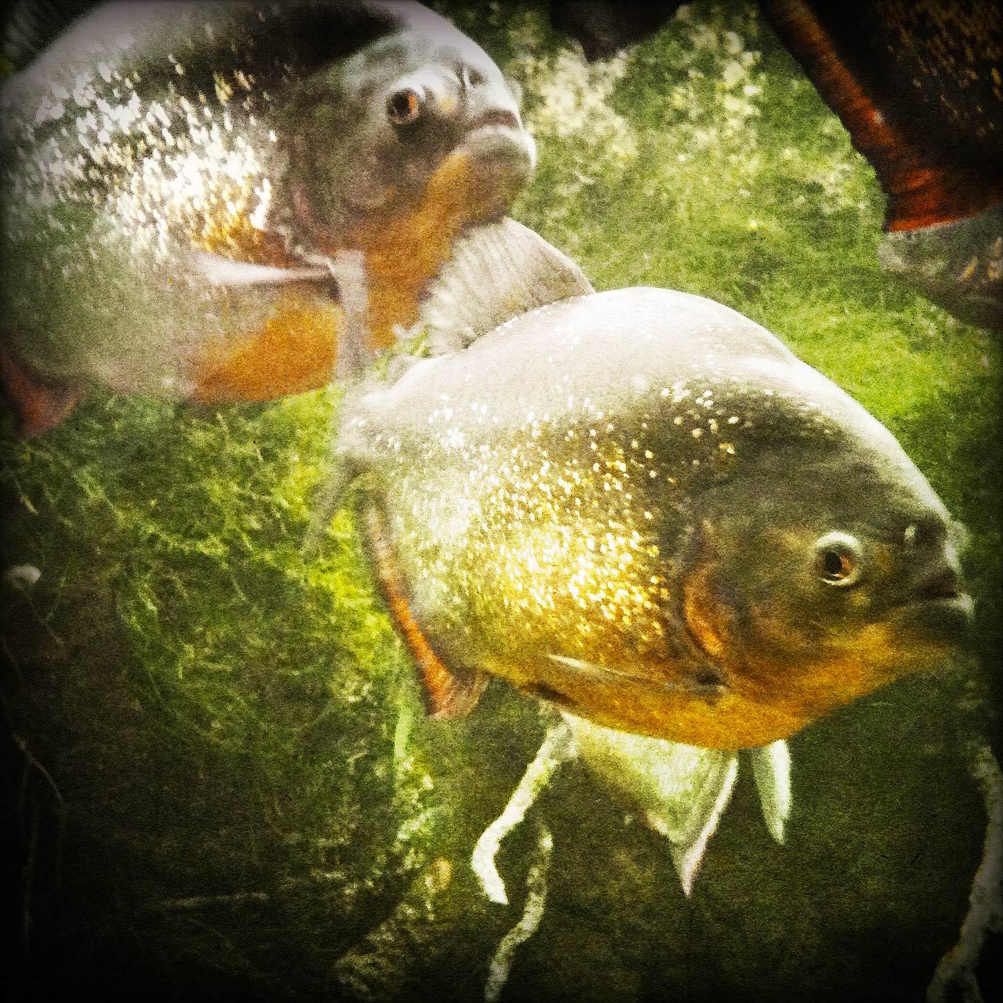 Piranha Dream