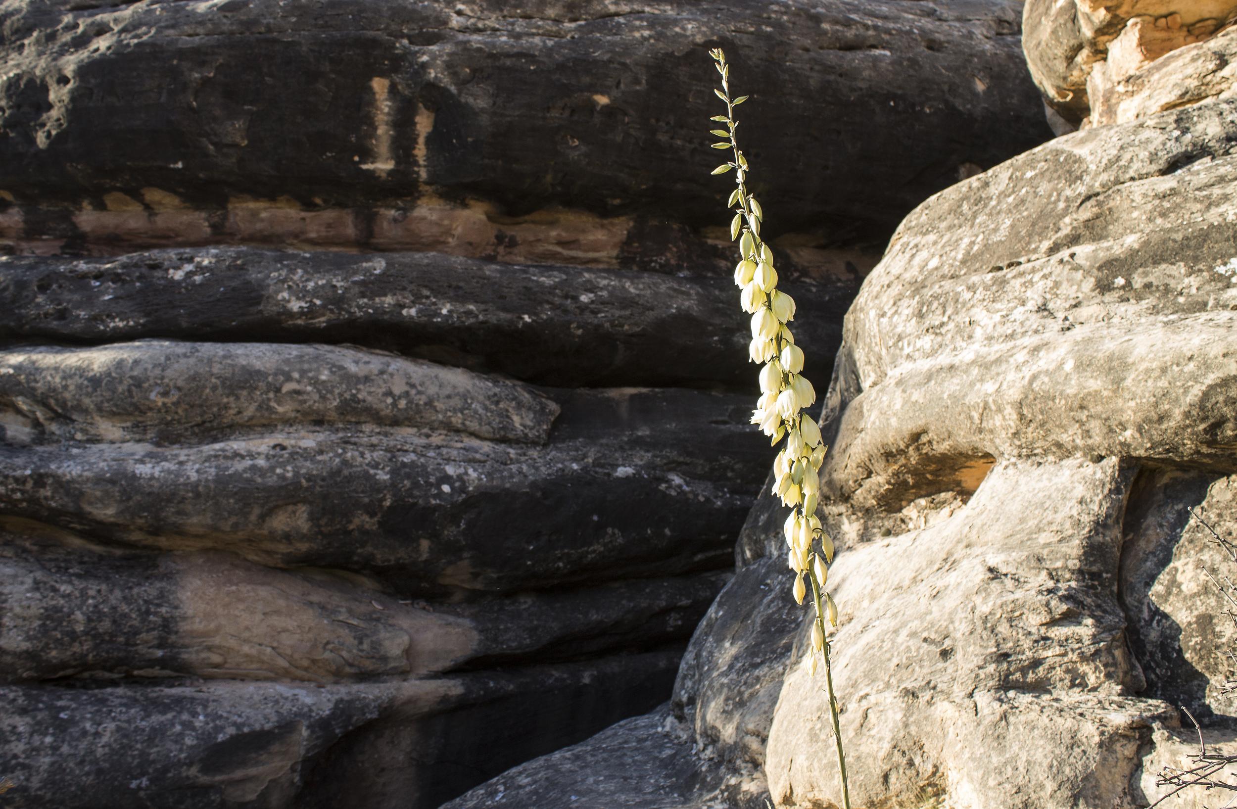 yuccaflower.jpg