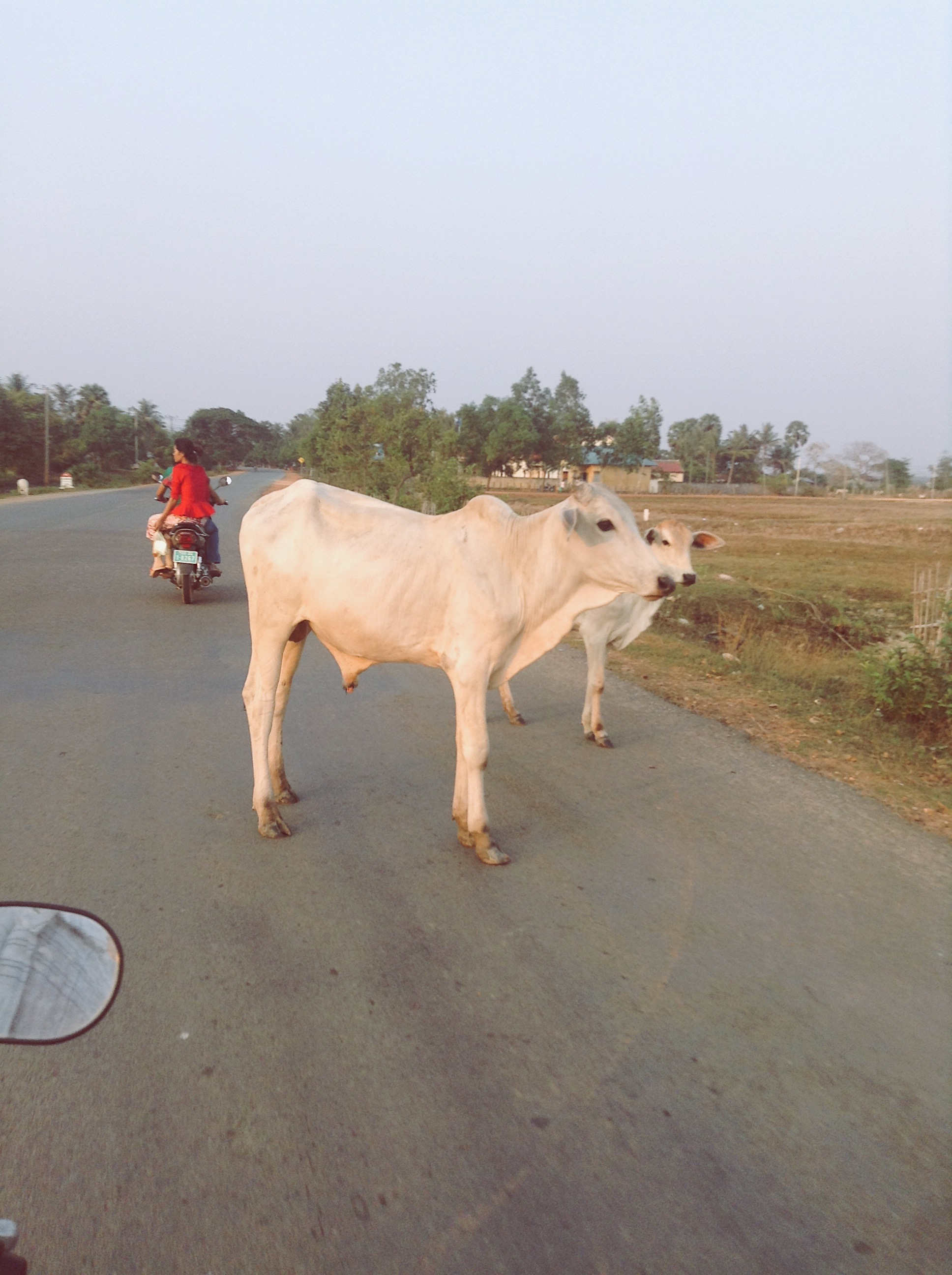 Cattle crossing, Kep, Cambodia