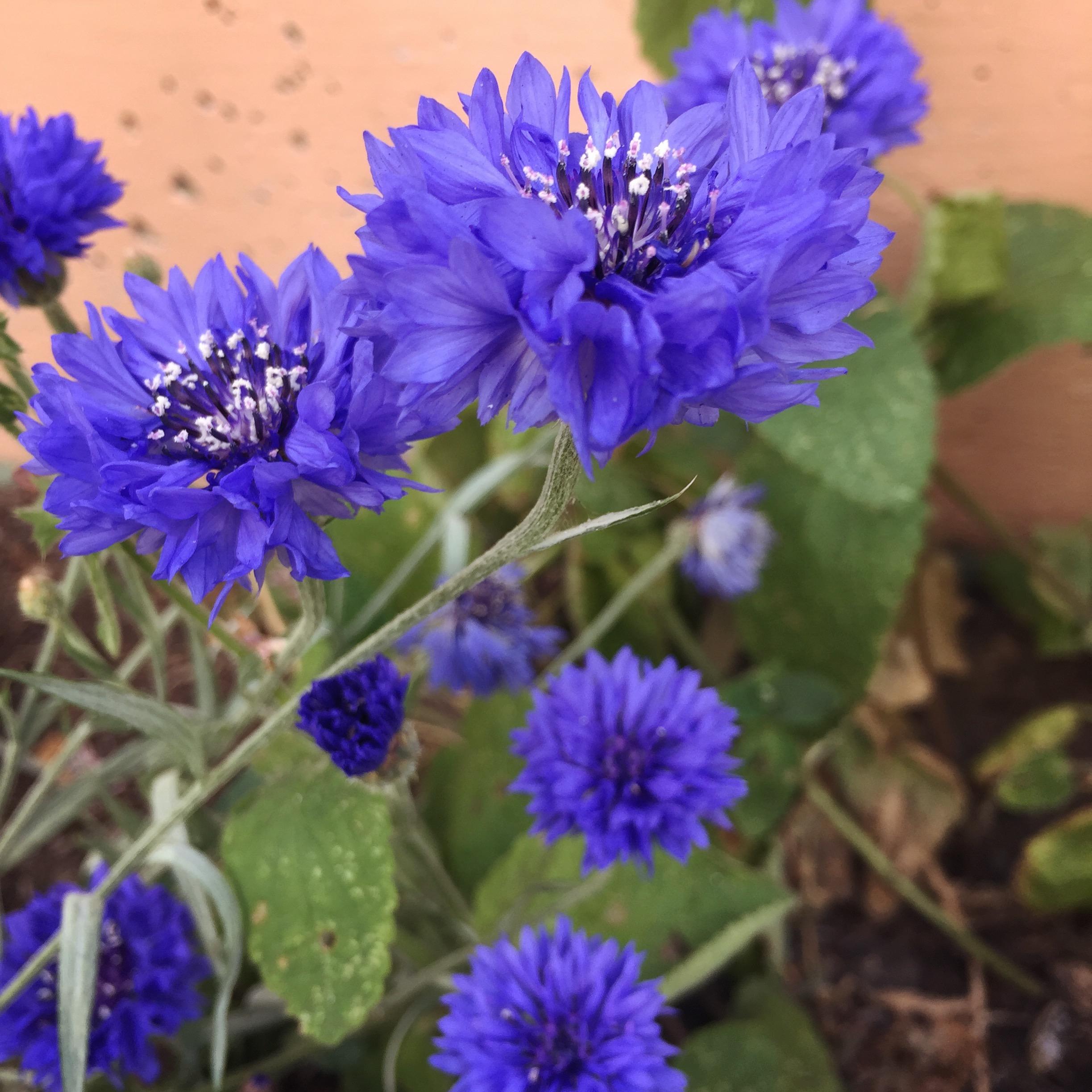 Blue Cornflower (Centaurea)
