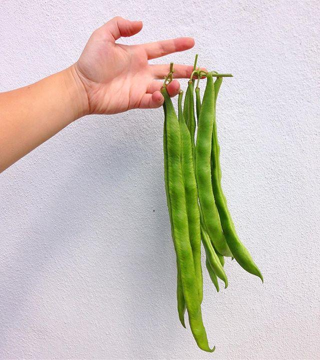 Beansbeansbeans from the garden 🌱💚🌱💚🌱💚🌱 #homegrown #beans #beanz #garden #brighton #green #freshlypicked #beansbeansthemagicalfruit