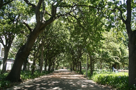 Stroll under the grand trees of the Company Gardens.