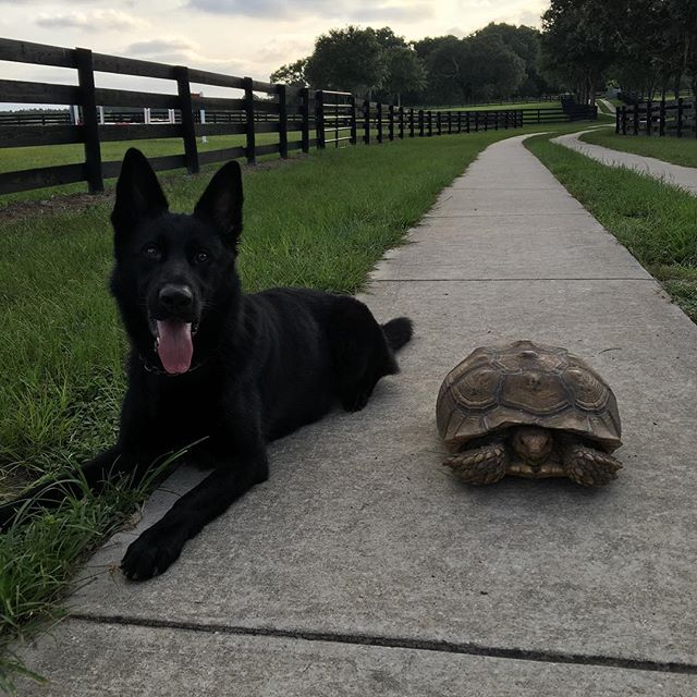 The Tortoise and The...Shepherd.  #germanshepherd #K9 #gsd