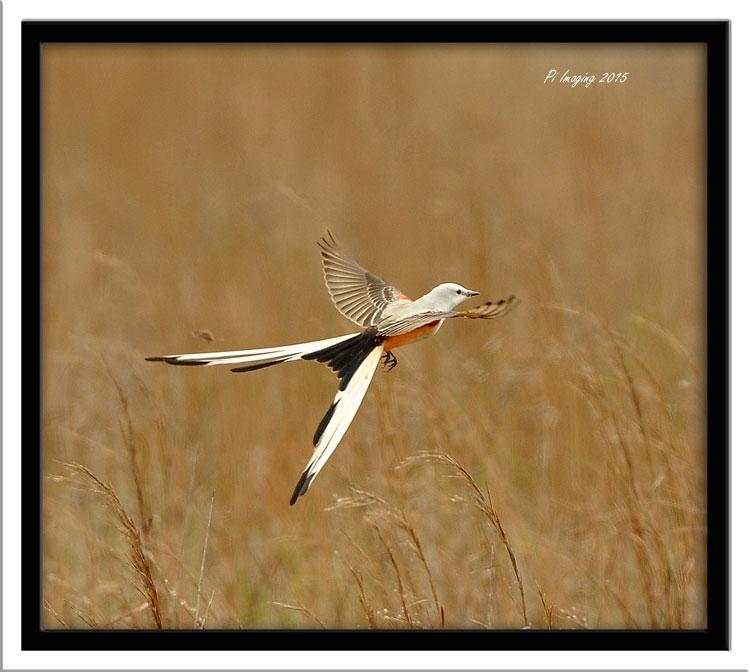 Scissor-Tailed Flycatcher - Tom Tran