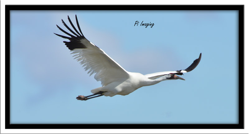 Whooping Crane Photo by Tom Tran
