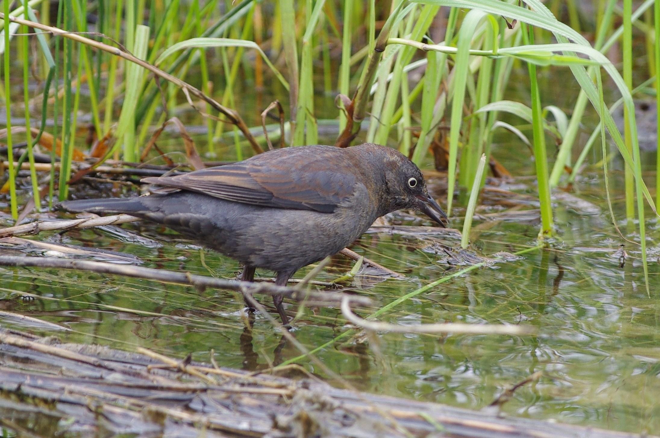 Carmen Hagopian took this photo of the Rusty Blackbird. Excellent!