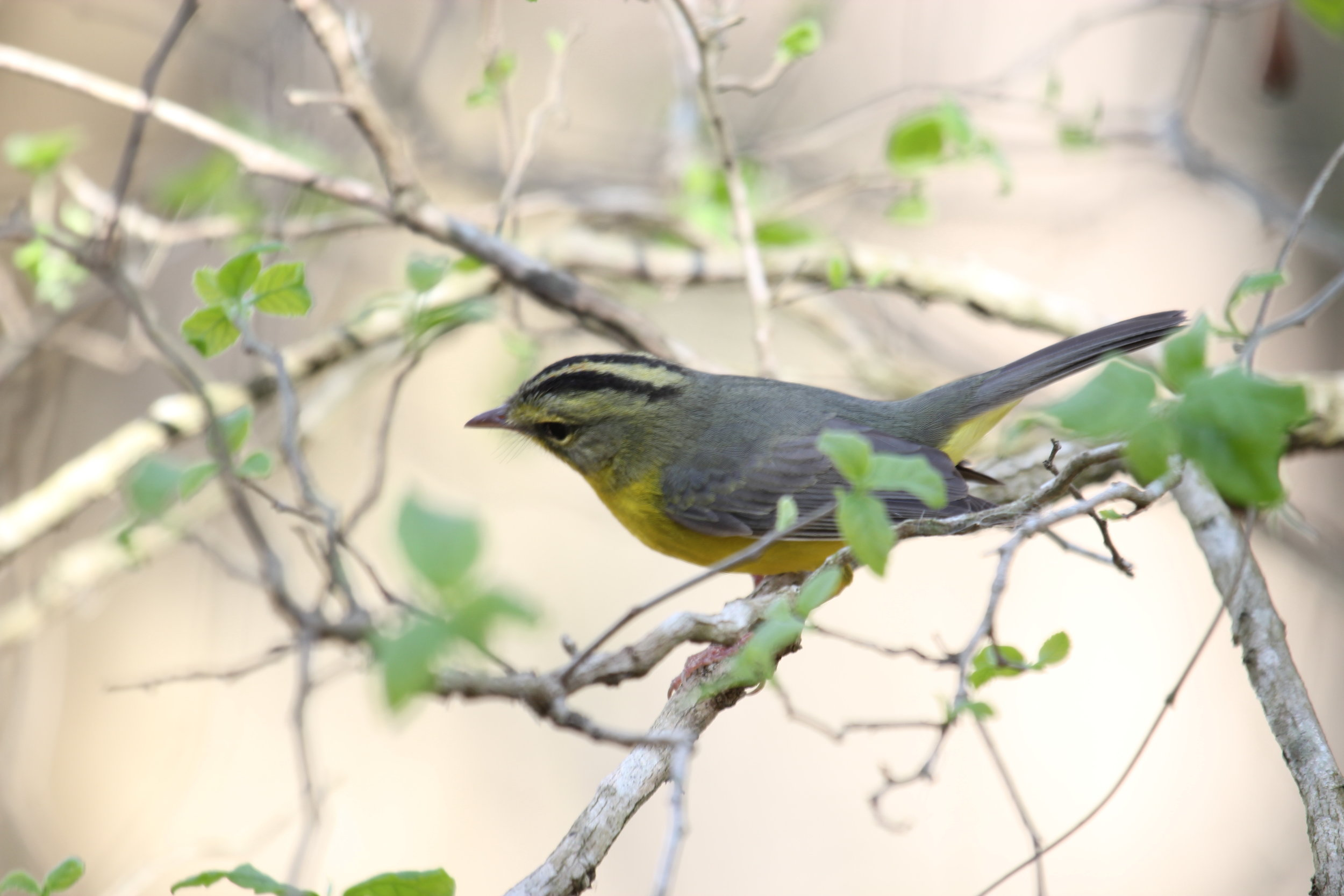 Mary King photographed this Golden-crowned Warbler in Refugio, Lyons/Shelley Park. Not a Christmas Bird Count bird, but a wonderful bird to see and photograph.