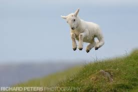 lamb jumping.jpeg