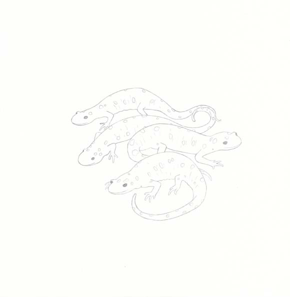 California - Spotted Salamander - Four