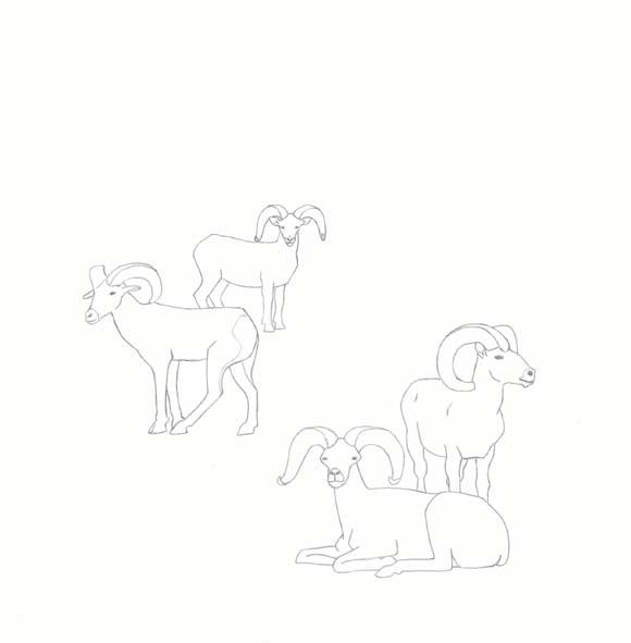 Nevada - Desert Bighorn Sheep - Four