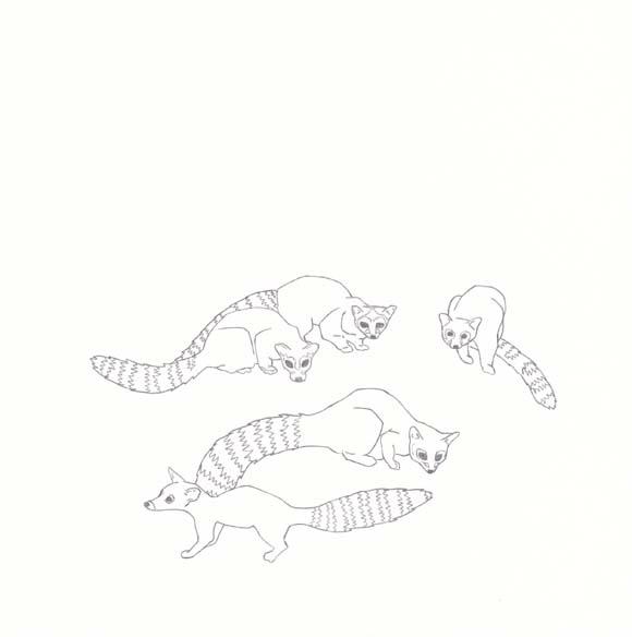 Arizona - Ringtail cat - Five