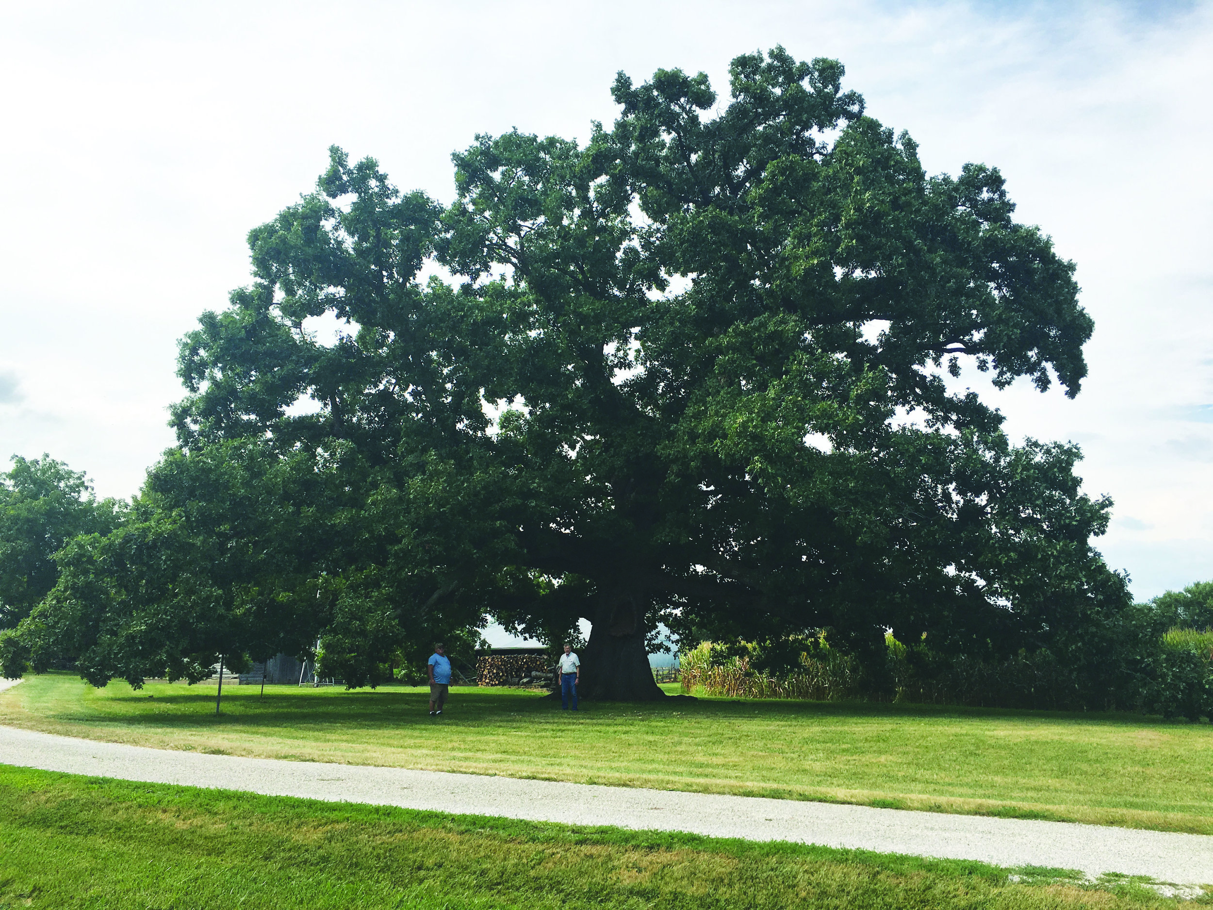 large white oak tree cmyk.jpg