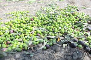 mandranova-olives-before_big.jpg