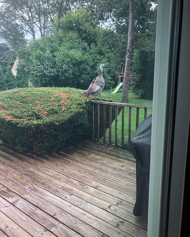 Opened my blinds to this turkey this morning. #gobblegobble