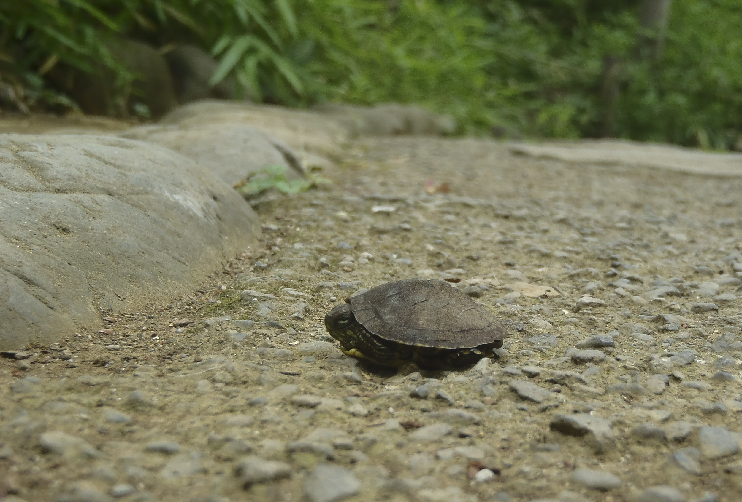 A turtle goes inside its shell May 25, 2015, on a walkway in the Arisugawa Park, Minato, Japan. A variety of wildlife calls the park home. (U.S. Air Force photo by Senior Airman David Owsianka/Released)