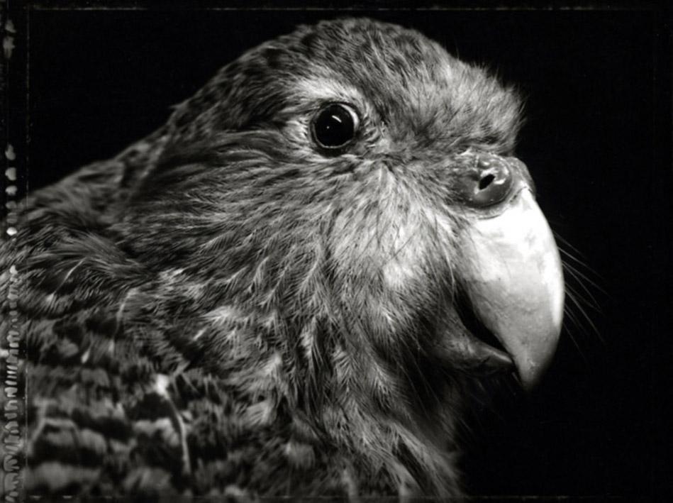 Wehi/Fear, Kakapo/New Zealand Ground Parrot 2004