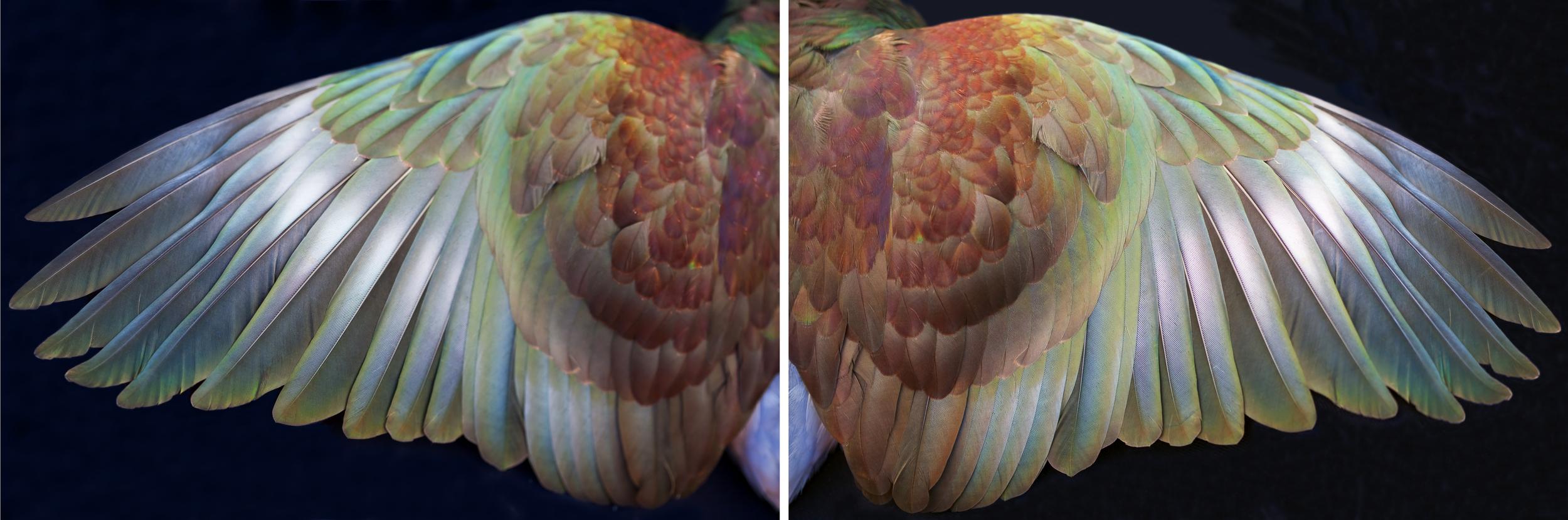 Kereru Wings, Waiheke 2010