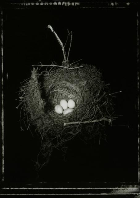A Tui's Nest with 4 Eggs 2006