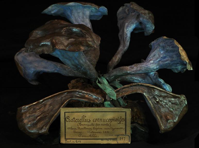 e-Craterellus cornicopiodes2011_0049.jpg