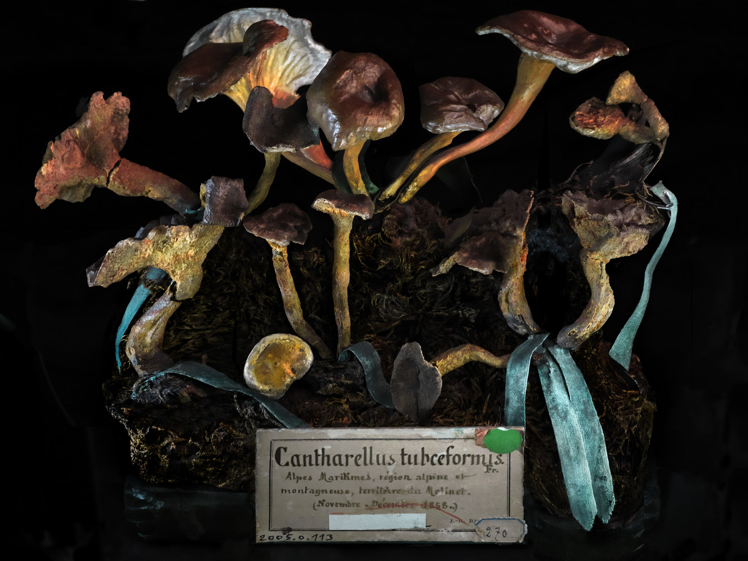 f-A4Cantharellus tubceformis_2011_0208.jpg