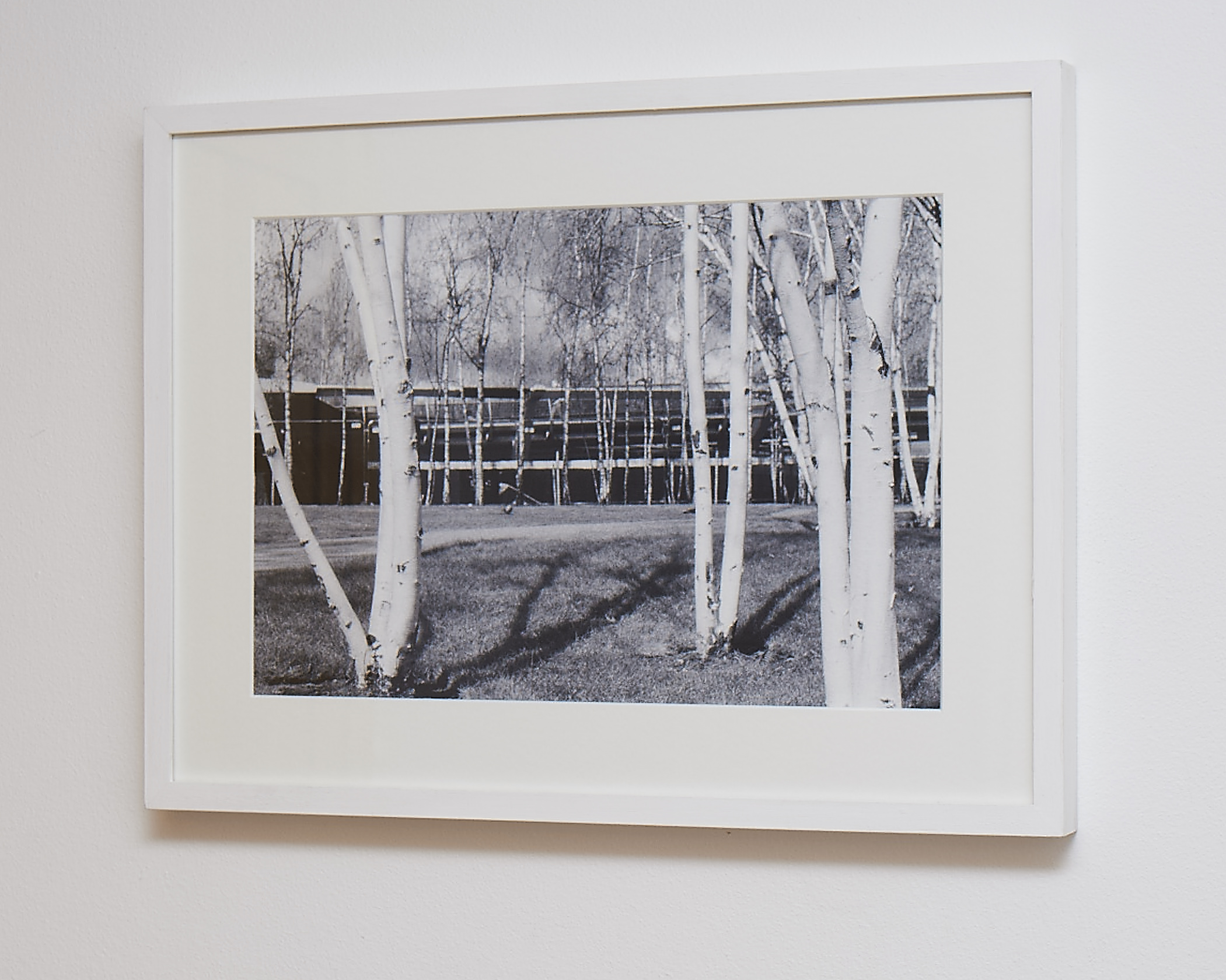 """Silver Birch   This image was shot on black & white infrared film. Would suit a modern home.   Printed on Hahnemuhle German Etching Paper.    Frame Size approx. 20 x 15""""    COST £55.00"""