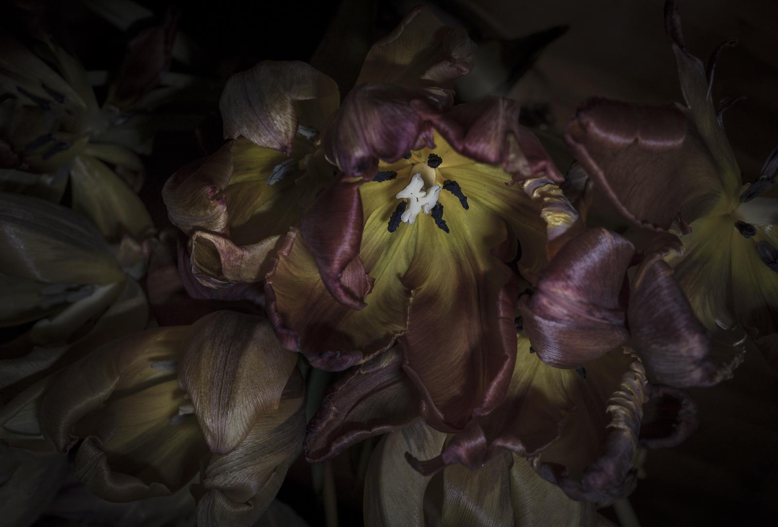 Tulips, VII