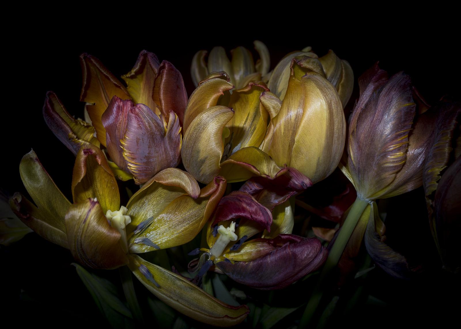 Tulips, V