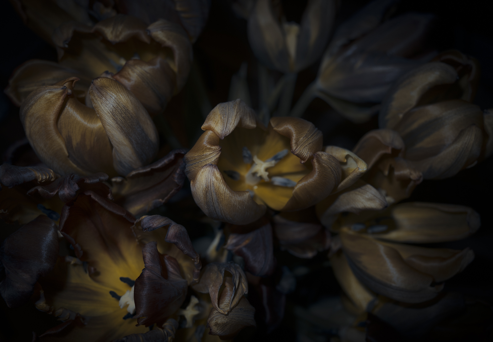 Tulips, VI