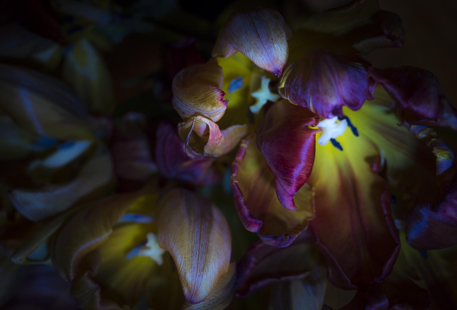 Tulips, X