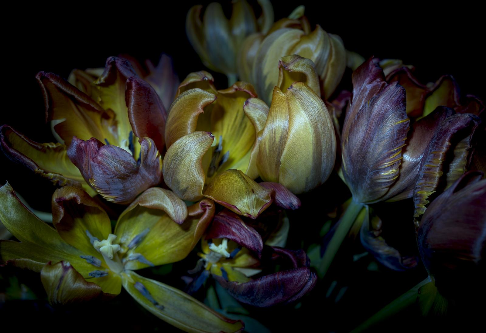 Tulips, IV