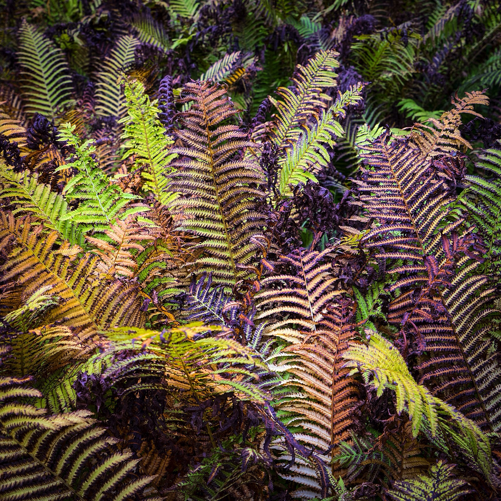Ferns at Plas Newwyd gardens, Wales