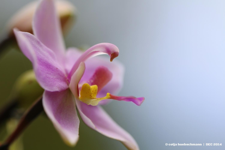 Flower on Cross Island Walk, Rarotonga