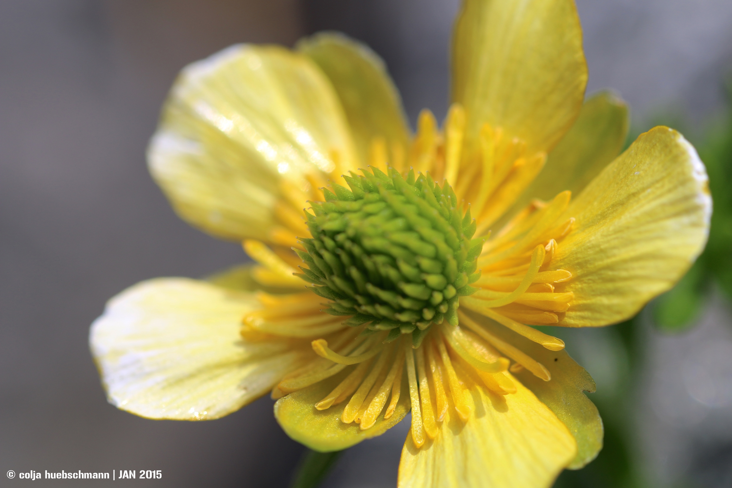 flower at gertrude saddle, fiordland