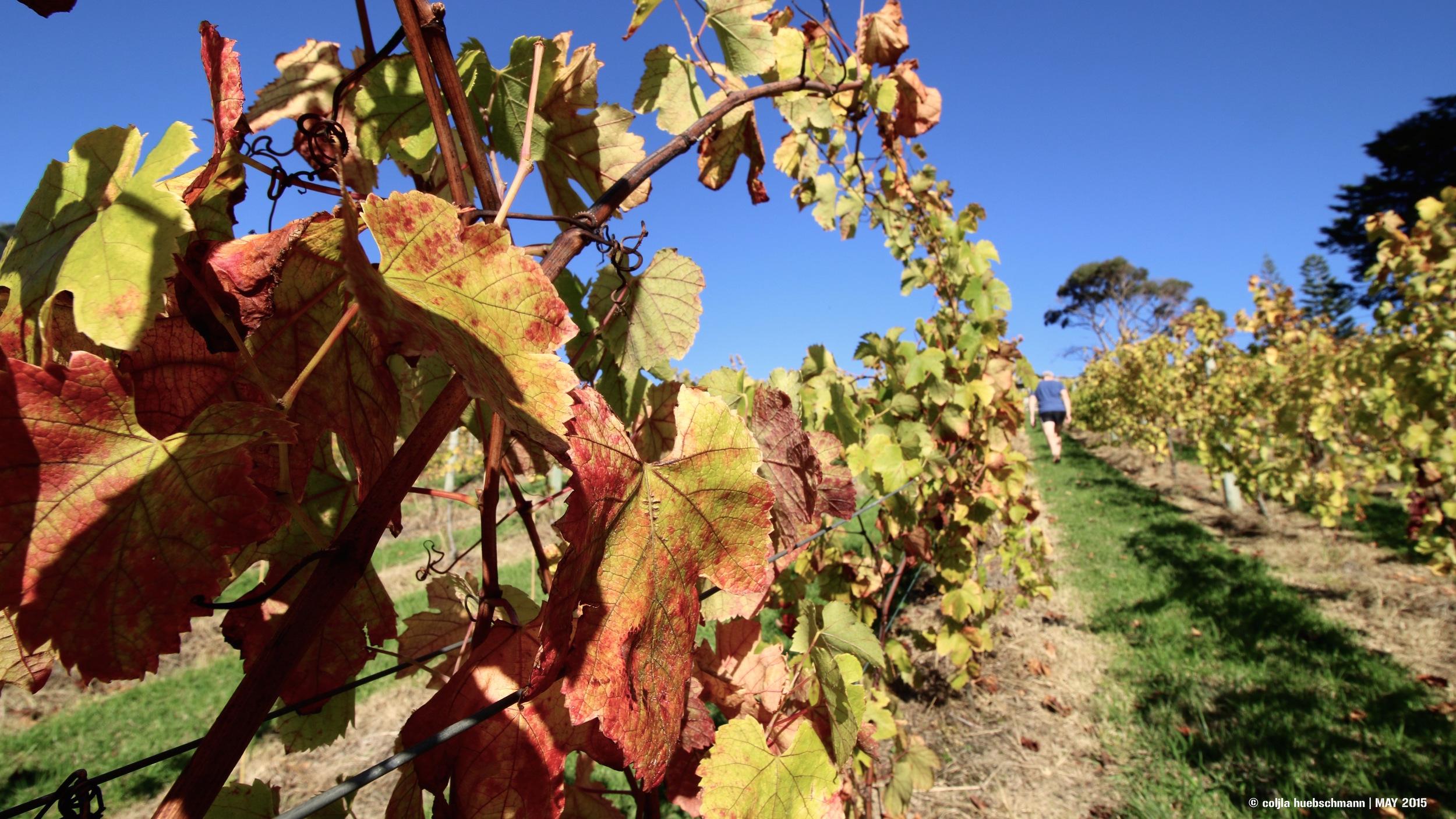 Littlewing Vineyard, Waiheke Island