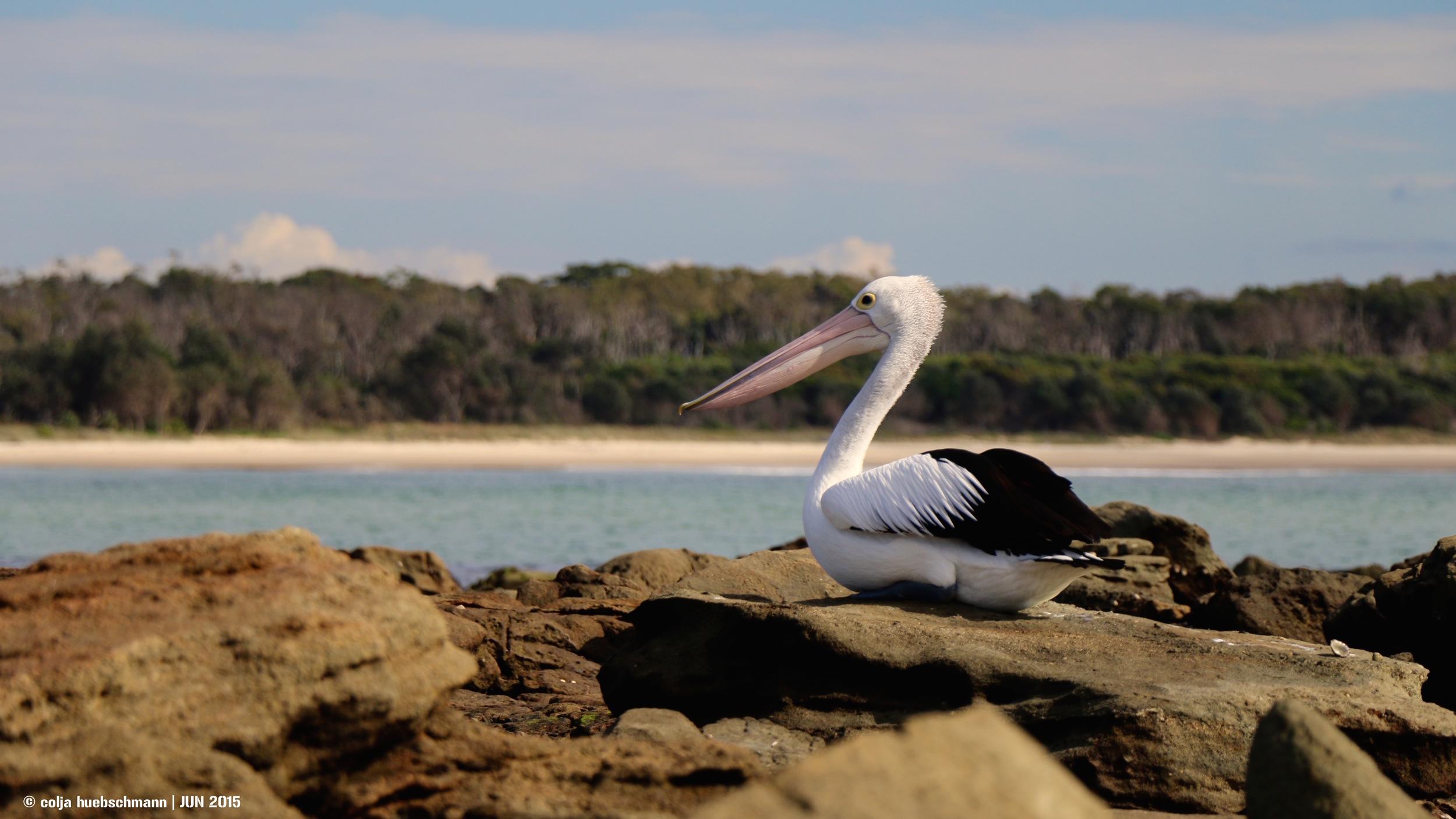 Pelican, Woody Head ,  AUSTRALIA